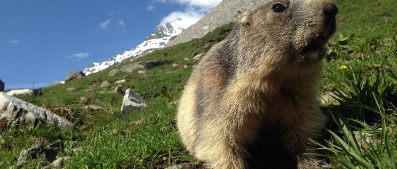 marmotte en Vanoise