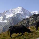 vache de la race D'Hérens