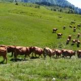 Vaches de la race Tarine