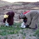récolte des fleurs de safran au petit matin